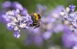 Manosee la abeja con la cabeza en la flor de la lavanda Imagen de archivo libre de regalías