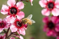 Manosee la abeja con la flor roja Fotografía de archivo