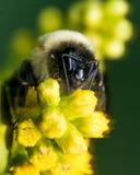 Manosee la abeja con la piel de oro brillante en la flor amarilla Fotos de archivo