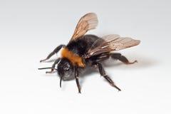 Manosee la abeja con las alas abiertas Imágenes de archivo libres de regalías