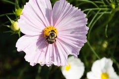 Manosee la abeja con las flores Fotografía de archivo