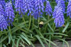 Manosee la abeja con las flores del jacinto de uva Foto de archivo