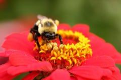 Manosee la abeja con polen en su cara Imagen de archivo libre de regalías