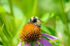 Manosee la abeja cubierta en el polen que recolecta el néctar Fotografía de archivo libre de regalías