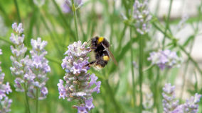 Manosee la abeja cubierta en polen en una planta de la lavanda Imagen de archivo
