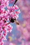 Manosee la abeja cuelga el flor rosado de polinización al revés en árbol Imágenes de archivo libres de regalías