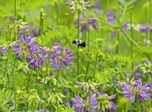 Manosee la abeja del polen en vuelo Fotografía de archivo