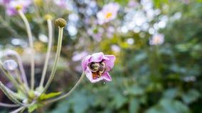 Manosee la abeja dentro de una flor abierta mitad Imagen de archivo libre de regalías