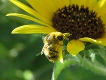 Manosee la abeja difícilmente en el trabajo Foto de archivo