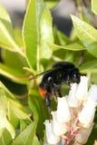 Manosee la abeja (el Bombus) Foto de archivo