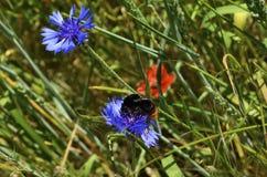 Manosee la abeja en aciano Imagen de archivo