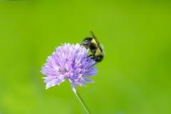 Manosee la abeja en aciano en fondo verde Foto de archivo libre de regalías