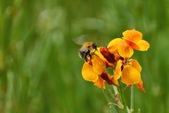 Manosee la abeja en alhelí Fotos de archivo libres de regalías