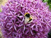 Manosee la abeja en allium Imagen de archivo libre de regalías
