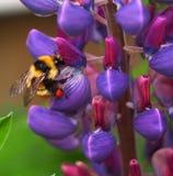 Manosee la abeja en altramuz Fotos de archivo