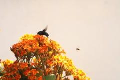 Manosee la abeja en amarillo anaranjado de la flor de Kalanchoe imágenes de archivo libres de regalías