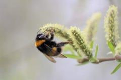 Manosee la abeja en amento imagen de archivo
