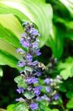 Manosee la abeja en bugle de la alfombra Imagen de archivo libre de regalías