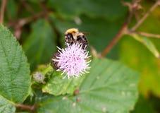 Manosee la abeja en la cabeza de flor rosada del cardo de leche Imagen de archivo libre de regalías
