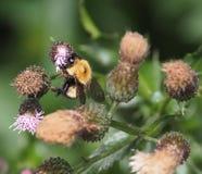 Manosee la abeja en cardo de arrastramiento Fotos de archivo libres de regalías