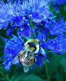 Manosee la abeja en Caryopteris Foto de archivo libre de regalías