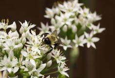 Manosee la abeja en cebollas salvajes de la flor blanca Imagenes de archivo