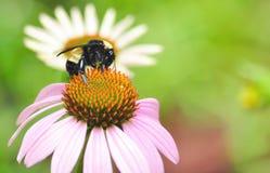 Manosee la abeja en Coneflower Imagen de archivo