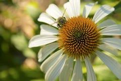 Manosee la abeja en Coneflower blanco Fotos de archivo
