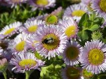 Manosee la abeja en daisys preciosos Fotos de archivo