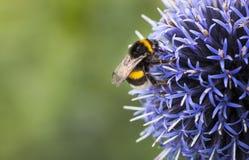 Manosee la abeja en Echinops imagen de archivo libre de regalías