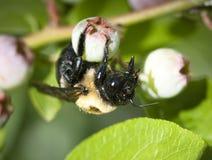 Manosee la abeja en el arándano Foto de archivo libre de regalías