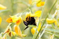 Manosee la abeja en el cáñamo de Sunn Imágenes de archivo libres de regalías