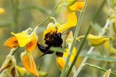 Manosee la abeja en el cáñamo de Sunn Foto de archivo