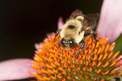 Manosee la abeja en el centro colorido de la flor púrpura del cono Imagen de archivo libre de regalías