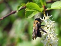Manosee la abeja en el cierre de la flor blanca Imagen de archivo