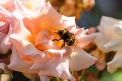 Manosee la abeja en el descoloramiento subió Imagenes de archivo