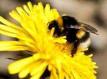 Manosee la abeja en el diente de león Foto de archivo