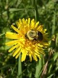 Manosee la abeja en el diente de león Fotos de archivo libres de regalías