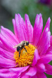 Manosee la abeja en el flor de la dalia Fotos de archivo
