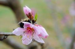 Manosee la abeja en el flor del árbol frutal Fotografía de archivo libre de regalías