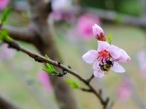 Manosee la abeja en el flor del árbol frutal Fotos de archivo
