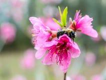 Manosee la abeja en el flor del árbol frutal Foto de archivo