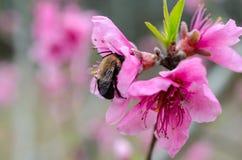 Manosee la abeja en el flor del árbol frutal Imagen de archivo