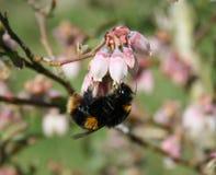 Manosee la abeja en el flor del arándano Imagen de archivo