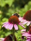 Manosee la abeja en el flor del Echinacea Fotografía de archivo libre de regalías