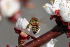 Manosee la abeja en el flor del resorte Imágenes de archivo libres de regalías