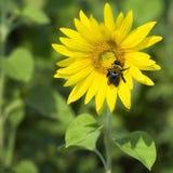Manosee la abeja en el girasol Fotografía de archivo libre de regalías