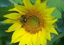 Manosee la abeja en el girasol Foto de archivo