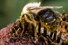 Manosee la abeja en el girasol Fotos de archivo libres de regalías