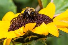 Manosee la abeja en el girasol Imagen de archivo